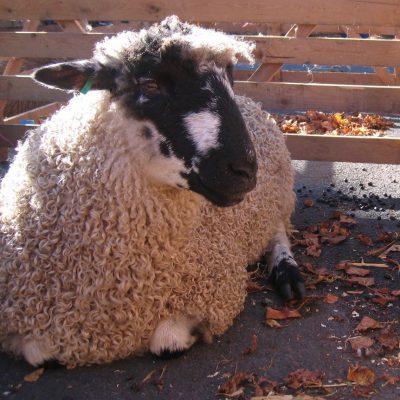 Masham Sheep